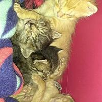 Domestic Shorthair Cat for adoption in Lake Jackson, Texas - Shadow