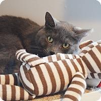Domestic Shorthair Cat for adoption in Lincoln, Nebraska - Orion