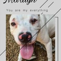 Adopt A Pet :: Marilyn - Chattanooga, TN