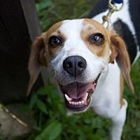 Beagle Mix Dog for adoption in Sparta, New Jersey - Jessie