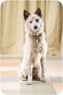 Australian Cattle Dog Mix Dog for adoption in Portland, Oregon - Corky