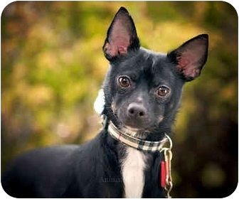 Chihuahua/Miniature Pinscher Mix Dog for adoption in Ile-Perrot, Quebec - T-BONE