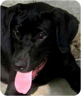 Labrador Retriever Dog for adoption in Pawling, New York - KOFIE