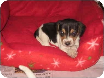 Rat Terrier Mix Puppy for adoption in Windham, New Hampshire - Vixen