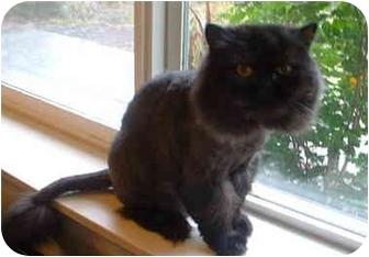Persian Cat for adoption in Portland, Oregon - Dakota