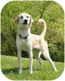 Labrador Retriever Mix Dog for adoption in Hamburg, Pennsylvania - Mary Kate