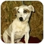Photo 1 - Jack Russell Terrier Dog for adoption in Baltimore, Maryland - Mick