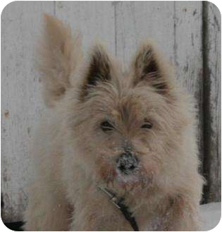 Westie, West Highland White Terrier Dog for adoption in Chetek, Wisconsin - Jack