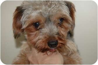 Yorkie, Yorkshire Terrier Dog for adoption in SLC, Utah - Ricardo