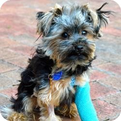 Yorkie, Yorkshire Terrier Puppy for adoption in Tallahassee, Florida - Karma