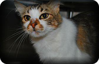 Domestic Mediumhair Cat for adoption in Yuba City, California - Tioga