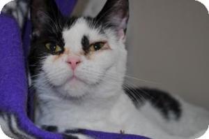 Domestic Shorthair Cat for adoption in Maple Ridge, British Columbia - Wynnona