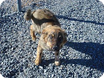 Australian Shepherd/Australian Cattle Dog Mix Puppy for adoption in Beaver, Utah - Bear