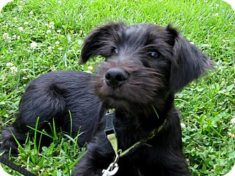 Schnauzer (Miniature)/Labrador Retriever Mix Puppy for adoption in Salem, New Hampshire - PUPPY MAXARONI