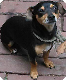 Dachshund Mix Dog for adoption in Thousand Oaks, California - Oscar