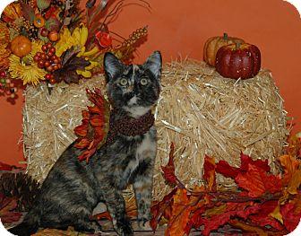Domestic Shorthair Kitten for adoption in Flower Mound, Texas - Zaina