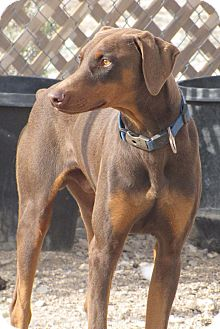 Doberman Pinscher Dog for adoption in Fillmore, California - Armani