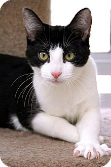 Domestic Shorthair Cat for adoption in Sterling Heights, Michigan - Grady-ADOPTED