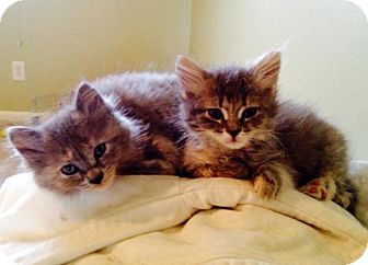 Domestic Mediumhair Kitten for adoption in Troy, Michigan - Sonny and Cher