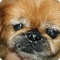 Adopt A Pet :: Ginger Too - Brooksville, FL