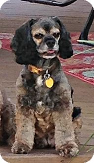 Cocker Spaniel Dog for adoption in Sugarland, Texas - Mable