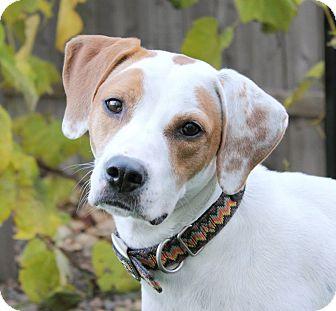 Pointer/English Setter Mix Dog for adoption in Wood Dale, Illinois - Athena- Wisconsin