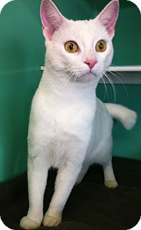 Domestic Shorthair Cat for adoption in Port Hope, Ontario - Beau
