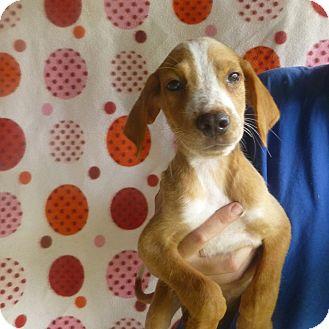 Golden Retriever/Australian Shepherd Mix Puppy for adoption in Oviedo, Florida - Jave
