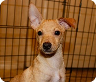 Chihuahua/Dachshund Mix Puppy for adoption in Ft. Atkinson, Wisconsin - Chip