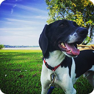 Beagle/Pointer Mix Dog for adoption in Rochester, New Hampshire - Buddy