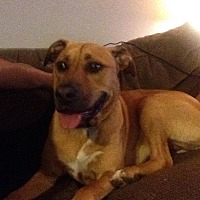 Boxer Mix Dog for adoption in East Rockaway, New York - Leela