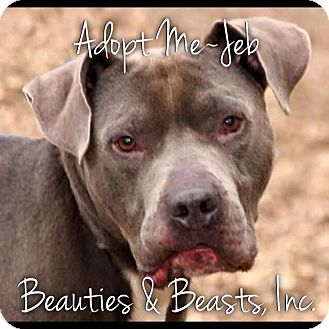 Pit Bull Terrier Mix Dog for adoption in Wichita, Kansas - Jeb