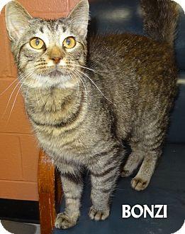 Domestic Shorthair Cat for adoption in Lapeer, Michigan - BONZI--SWEET & PLAYFUL