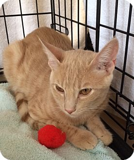 Domestic Shorthair Cat for adoption in Houston, Texas - Tim