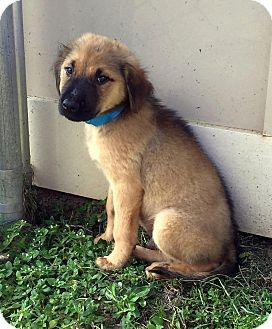 Retriever (Unknown Type) Mix Puppy for adoption in New Canaan, Connecticut - John