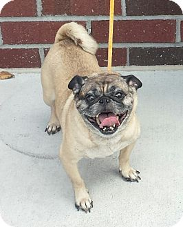 Pug Dog for adoption in Mount Pleasant, South Carolina - Gizmo
