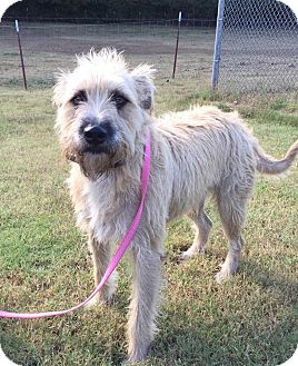Wheaten Terrier Mix Dog for adoption in Allentown, Pennsylvania - Navarro
