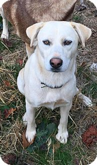 Labrador Retriever/Husky Mix Dog for adoption in Charlotte, North Carolina - Lexie
