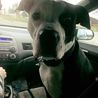 Pit Bull Terrier Mix Dog for adoption in Centerburg, Ohio - Farley