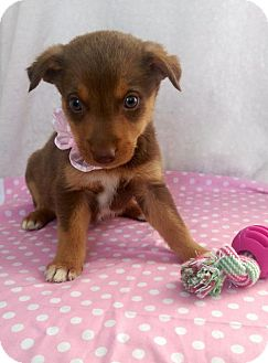 Australian Shepherd Mix Puppy for adoption in Newark, Delaware - Leia