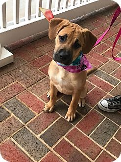Black Mouth Cur/Shepherd (Unknown Type) Mix Puppy for adoption in Alpharetta, Georgia - Calysta
