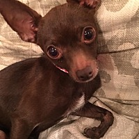 Chihuahua Mix Dog for adoption in Colmar, Pennsylvania - Maddy