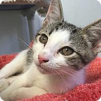 Adopt A Pet :: Fox - Hendersonville, NC