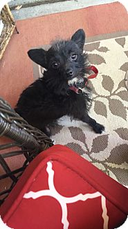 Terrier (Unknown Type, Small) Mix Dog for adoption in Las Vegas, Nevada - Charlie
