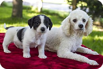 Poodle (Miniature) Mix Dog for adoption in Santa Fe, Texas - Sweet Mommy Evelyn and baby Mikey-S