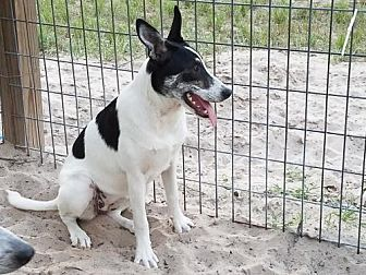 Cattle Dog/Pointer Mix Dog for adoption in Olympia, Washington - Paige
