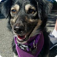 """Adopt A Pet :: """"Ember"""" - Seattle, WA"""