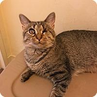 Adopt A Pet :: Sheba - Manchester, CT