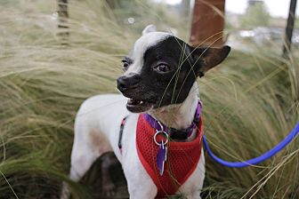 Chihuahua Mix Dog for adoption in Jersey City, New Jersey - Alfalfa