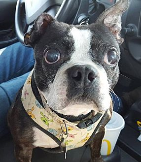 Boston Terrier Dog for adoption in Huntington Beach, California - Lilly Bonita